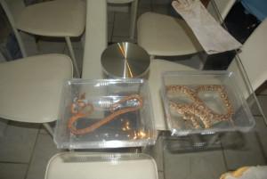 En 2011, 12 serpents ont été récupérés au domicile d'un particulier à Lançon-de-Provence et transférés au zoo de La Barben (photo : SDIS 13).