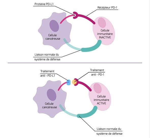Immunothérapie : exemple des traitements anti-PD-1 et anti-PD-L1. Source : Institut National du Cancer