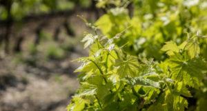 [Agriculture] La viticulture provençale ne perd plus de terrains malgré la pression foncière (2/3)