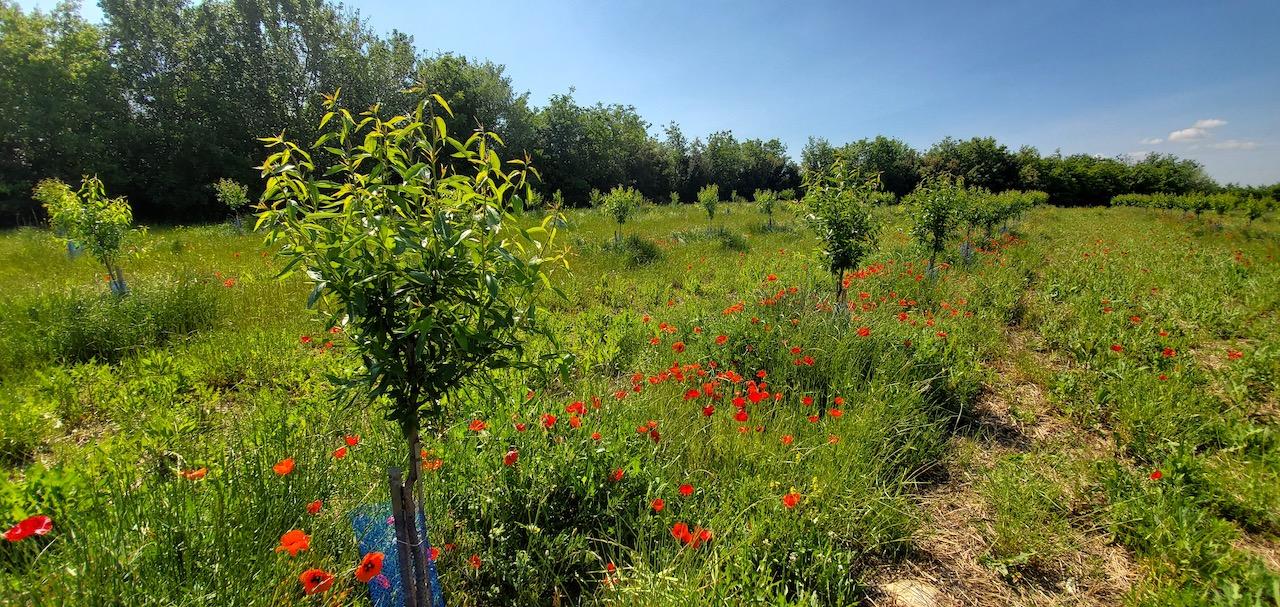 Amandera lève 700 000 € pour relancer la culture des amandiers en Provence - Gomet'